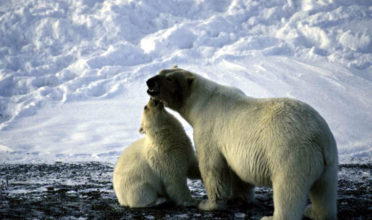 Polar bears, walrus, and other Arctic wildlife are threatened by pollution from ships traversing fragile Arctic waters. An oil spill in the Arctic is practically impossible to clean up. (Photo: Greenpeace)