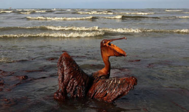 A brown pelican coated in heavy oil wallows in the surf.  In addition to acute impacts to marine life, oil spill can have persistent impacts that affect the entire ecosystem for many years. (Photo: Win Mcnamee)